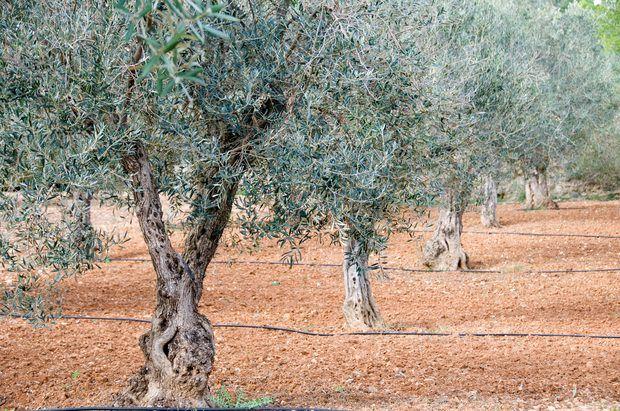 Sistema de raíces del olivo