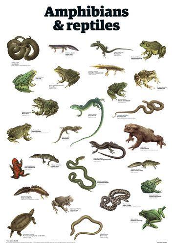 Amphibians & reptiles Art Print by Guardian Wallchart ...