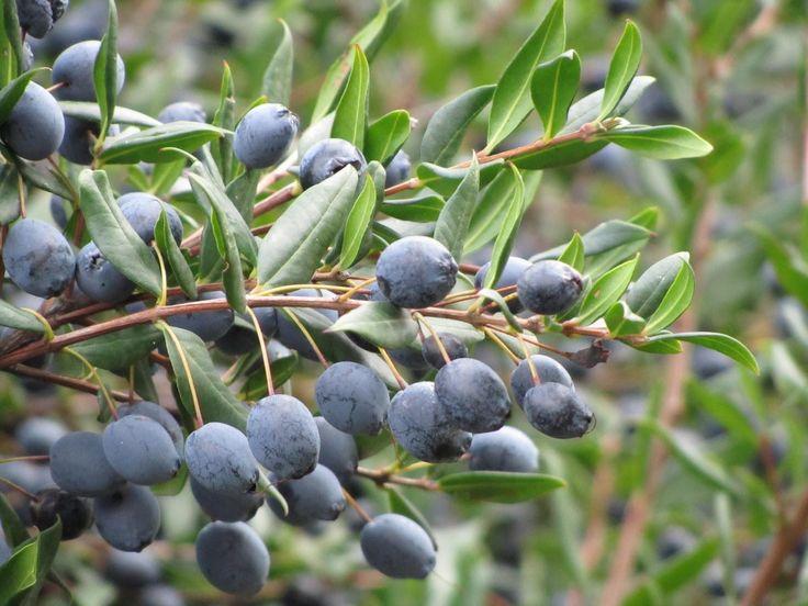 De vruchtjes van de mirto plant voor de bereiding van de traditionele Sardijnse likeur; Il Mirto