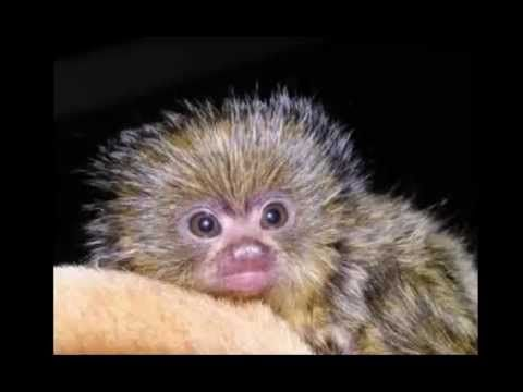 ▶ Amy's Animal Facts: Pygmy Marmosets - YouTube