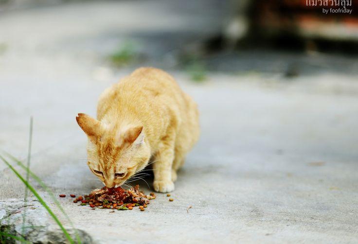 แมวสวนล ม ทำไมน าร ก Pantip