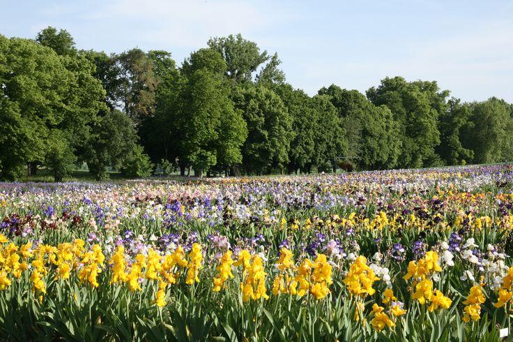 Des iris jaunes dans notre champ d'iris