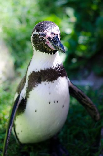 Humboldt Penguin #penguin #animallovers #animals