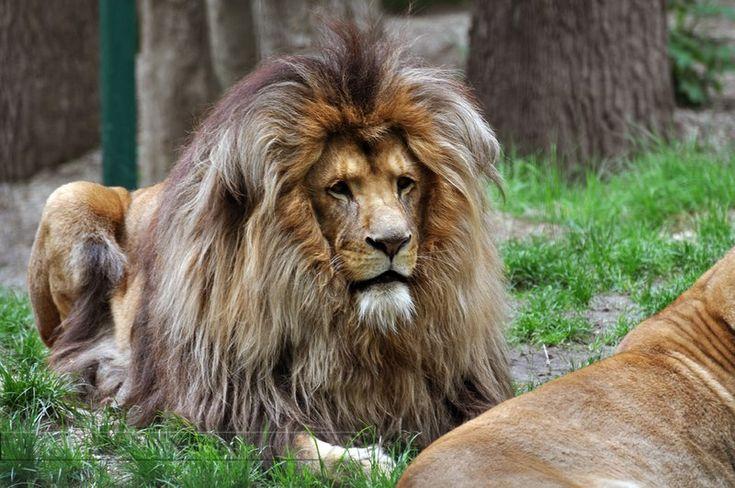 Do Black Lions Have Manes | Majestic King Of Lions Mane ...