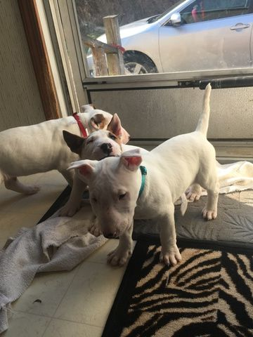Litter of 3 Bull Terrier puppies for sale in FLORENCE, SC. ADN-25006 on PuppyFinder.com Gender: Male. Age: 7 Weeks Old