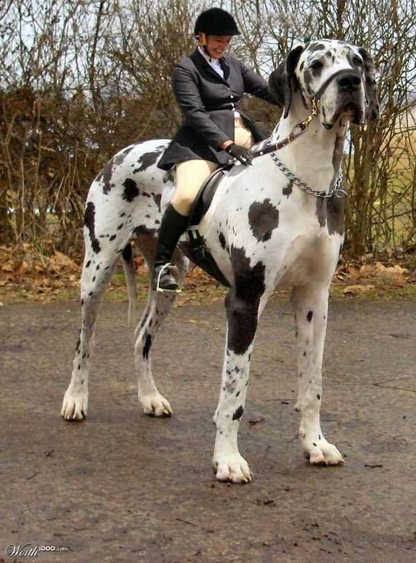 OMG... >.< a great dane as a horse... is that really a good idea... lol