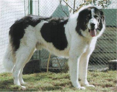 Bukovina Sheepdog