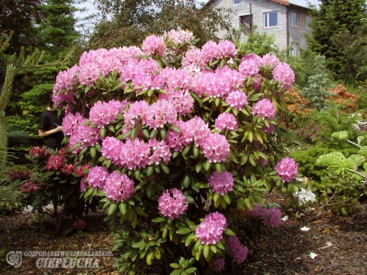 Roseum Elegans - Рододендрон гибридный - Roseum Elegans - Rhododendron hybridum - cieplucha.com.pl