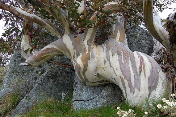 Card & Print Dramatic Snow Gum Summer in by JenWatsonPhotography, $6.00