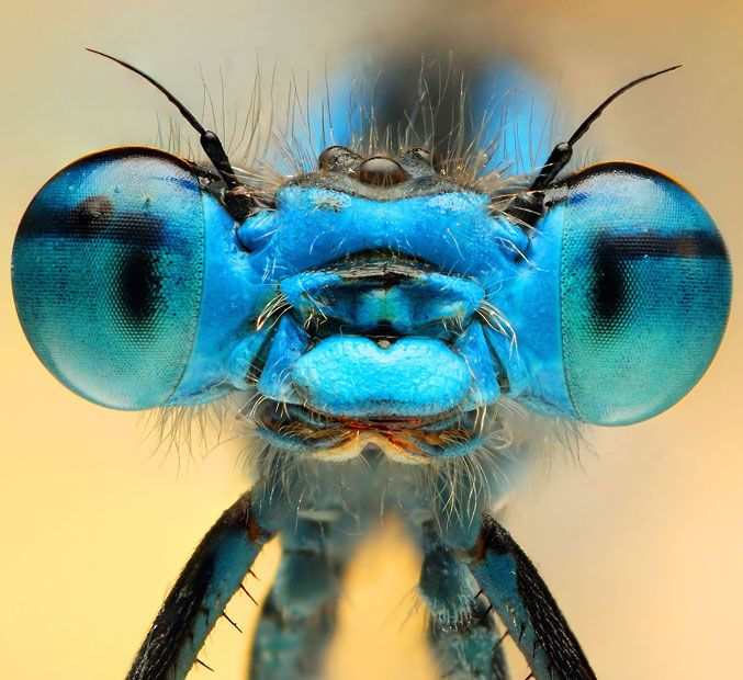 Blue damselfly.  Ireneusz Irass Waledzik, from Poland, uses macro photography to reveal the fascinating colours and shapes of tiny insects.   Picture: IRENEUSZ IRASS WALEDZIK / CATERS NEWS