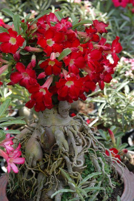 Rosa do Deserto – Características de cultivo