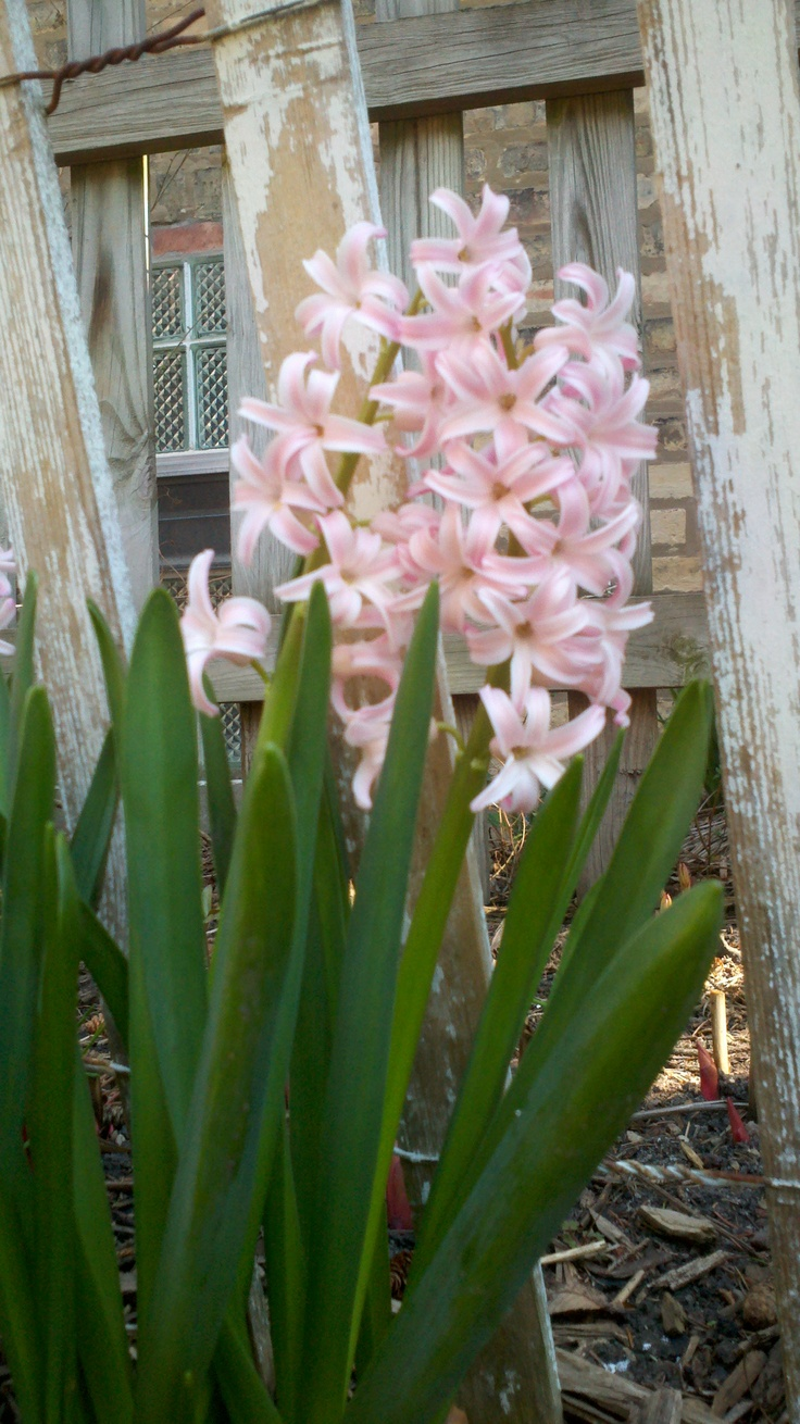 71 Best Images About Hyacinth On Pinterest Spring