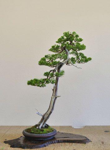 209 best bonsai literati images on pinterest bonsai for Literati bonsai gallery