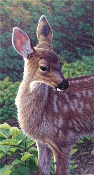 First Summer - Black-tailed Deer Fawn - painting by W. Allan Hancock