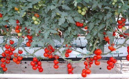 Υδροπονική καλλιέργεια
