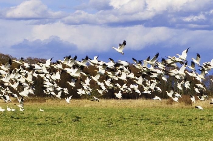 Flocks of Snow Geese, Reifel Bird Sanctuary