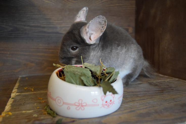 Listki i gałązki z brzozy to zdrowy i smaczny smakołyk dla szynszyli. #szynszyle #uszynszyla #chinchilla