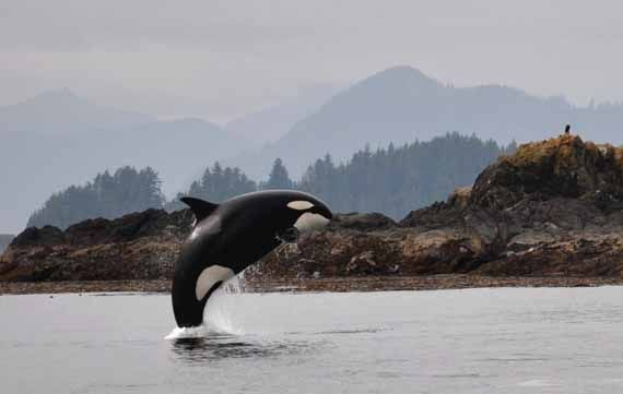 Orca's full breach - Photo: Parks Canada, C.Bergman