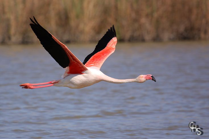flying flamingo - Yahoo Search Results