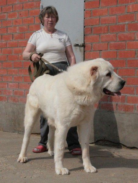 Central Asian Ovcharka - it's a big dog!