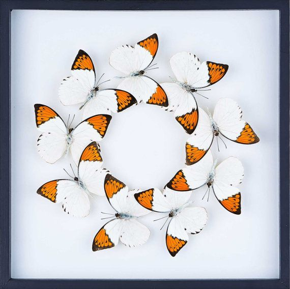 Tropical Framed Butterfly Display SetG21 Double by BugsDirect, £98.75