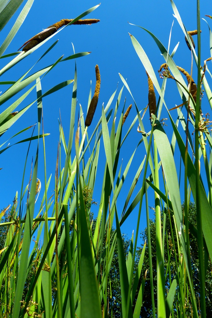 cattails and pussy willows