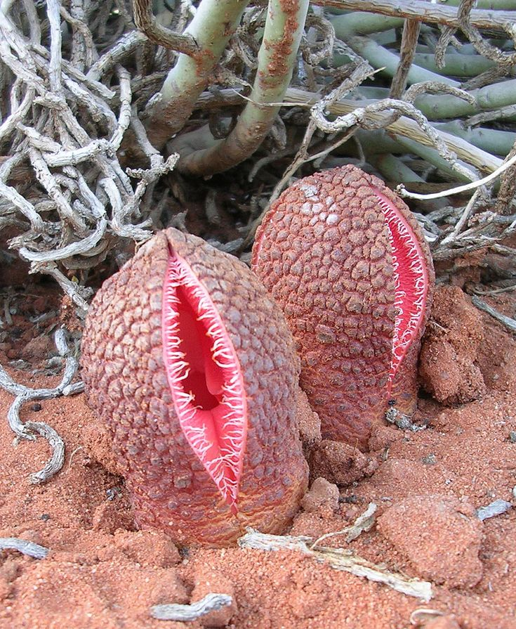 Hydnora Africana in the Namibian Desert