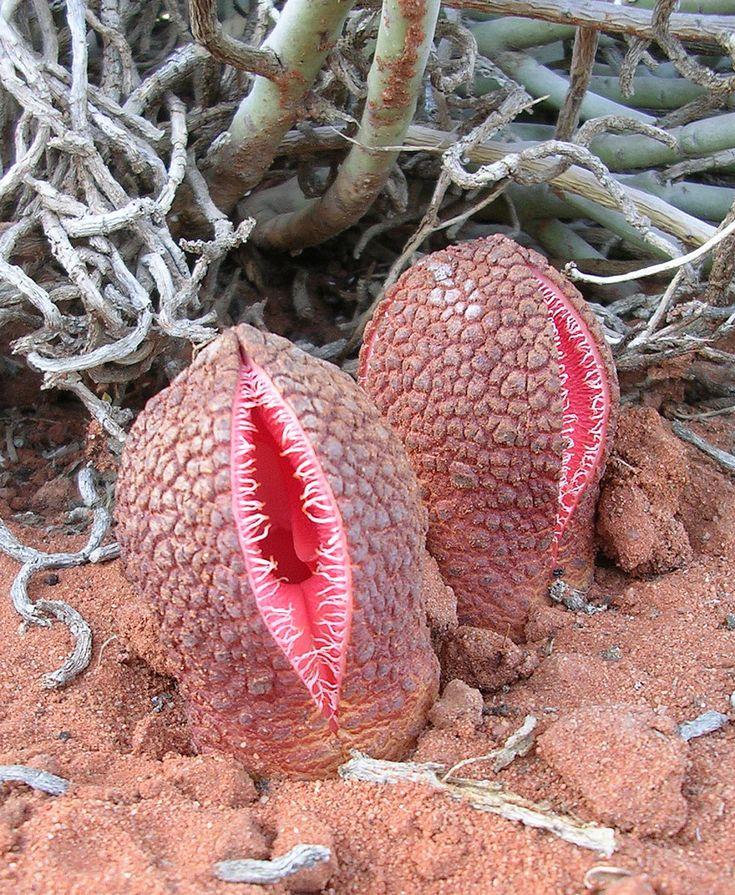 Hydnora Africana La planta-coño que come vegetarianos…                                                                                                                                                                                 Más