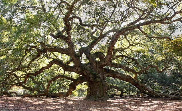 Angel Oak has stood watch on Johns Island off the coast of South Carolina for some 1,500 years. That makes it one of the oldest living things east of the Mississippi.  Its spectacular canopy is something to behold, offering over 17,000 square feet of shade.