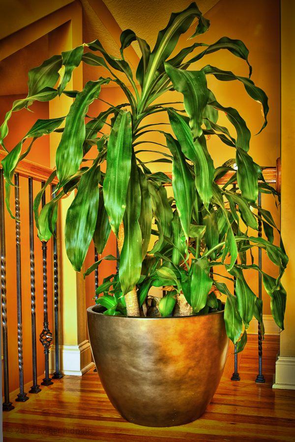 52 best fast growing plant images on pinterest flower arrangements indoor plants and floral. Black Bedroom Furniture Sets. Home Design Ideas