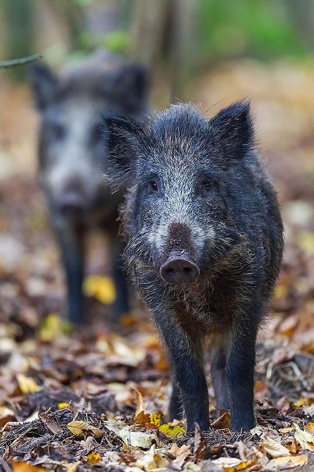 , Wild Boar piglets foraging in a beech forest - (European Boar - Wild Pig)