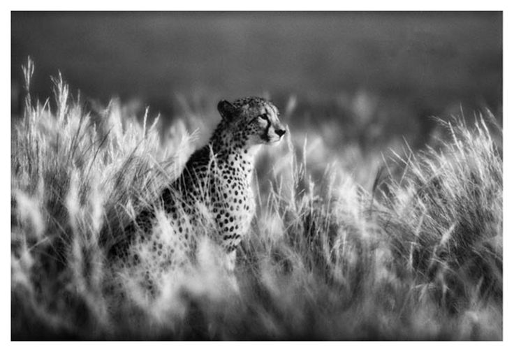 black and white fine art image of a cheetah in soft grass by wildlife photographer Dave Hamman