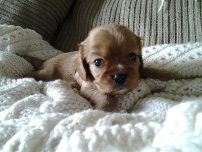 Cavalier King Charles spaniel     Marino's Precious Cavaliers  Litter ready June 2013  951-234-6391 also on facebook  https://www.facebook.com/MarinosPreciousCavaliers  and http://marinospreciouscavaliers.vpweb.com/?prefix=