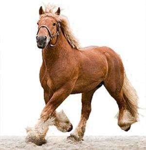 Cavalo de esboço belga - Belgisch trekpaard.  por audra.j.fairchild