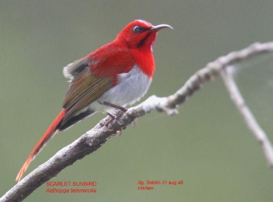 550px-Scarlet_Sunbird.jpg (550×407)
