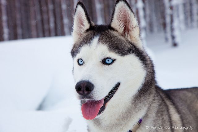 Cute Siberian Husky in the snow by Pamela Ann Photography via Flickr