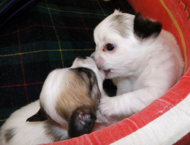 Chiens-chiot-chihuahua-a-donner-95