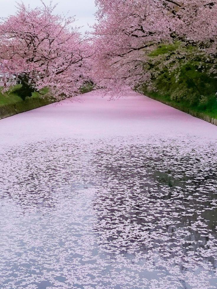 Cherry Blossoms At Hirosaki Park Japan