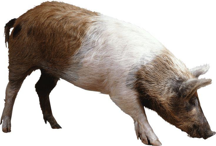 Pig Png Image PNG Image