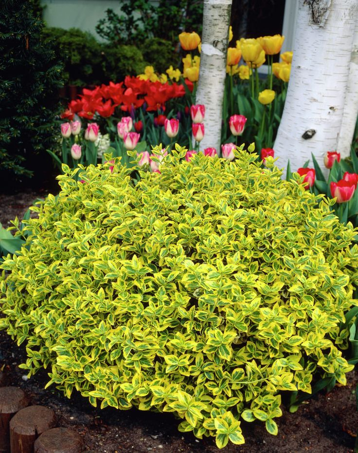 47 best EUONYMUS EMERALD AND GOLD images on Pinterest Plants