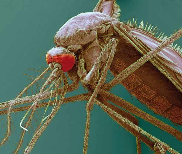 電子顕微鏡で撮影…:蚊~アカイエカ、ハマダラカ、ネッタイシマカ…~ 写真特集:時事ドットコム