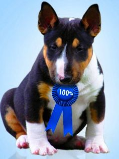 "CH. Cambria's Marcus Aurelius ~ ""Marcus""   Picture ~  Puppy on AKC's Breeder Merit Program"