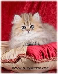 There is no such thing as Teacup Persian Cats. All silver and gold shaded Persian are somewhat small.