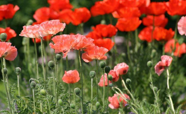 Von beeindruckender Größe sind die Blüten des Türken-Mohns (Papaver-Orientale-Hybriden). Frühe Sorten blühen von Mai bis Juni, späte von Juni bis Juli. Alle bevorzugen einen Platz in voller Sonne. Da Türken-Mohn nach der Blüte komplett verwelkt, kombiniert man ihn mit spät treibenden Lückenfüllern wie dem Sonnenhut. Empfehlenswerte Mohnsorten sind die durch Aussaat vermehrbare 'Beauty of Livermere' (kräftig rot, 90 cm, spät) und 'Juliane' (rosa, 70 cm, früh).