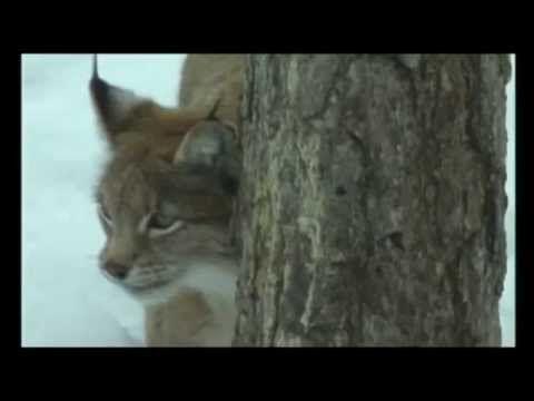 Ilves - Suomen eläimiä - YouTube