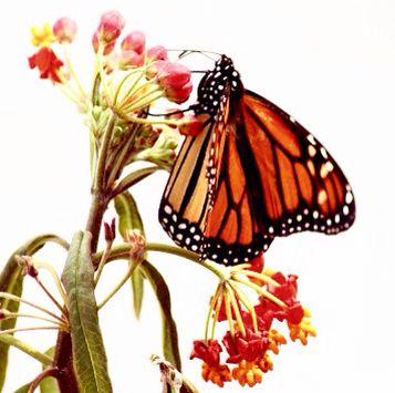 Butterfly lips get buzzed