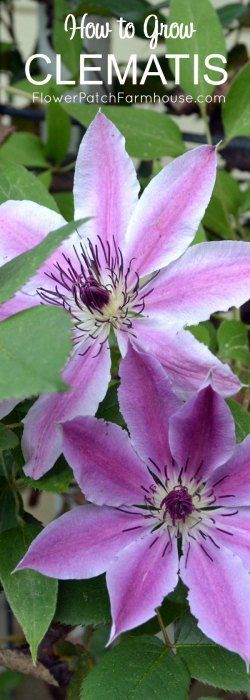 how to grow clematis!  It is easier than you think and so rewarding. Come see how I grow clematis and how you can too.
