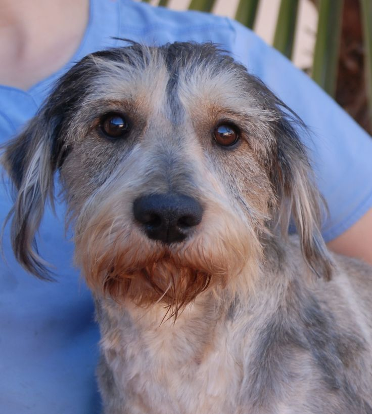 Prancer, a quiet-natured sweetheart, debuts for adoption today at Nevada SPCA (www.nevadaspca.org). He is a Miniature Schnauzer mix, 2 years young, neutered, and compatible with other friendly dogs. Prancer is unsure of himself and needs to gain self-esteem. He was found on the Vegas streets with no sign of responsible ownership.