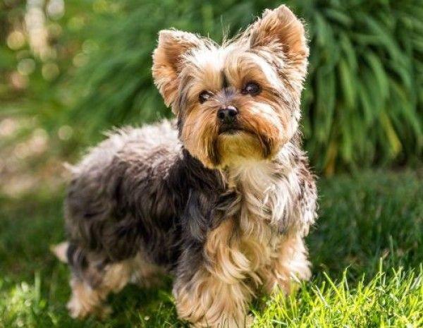 Yorkshire Terrier Dog For Adoption In Bettles Alaska Test In Bettles Alaska In 2020 Yorkshire Terrier Yorkshire Terrier Puppies Dog Breeds