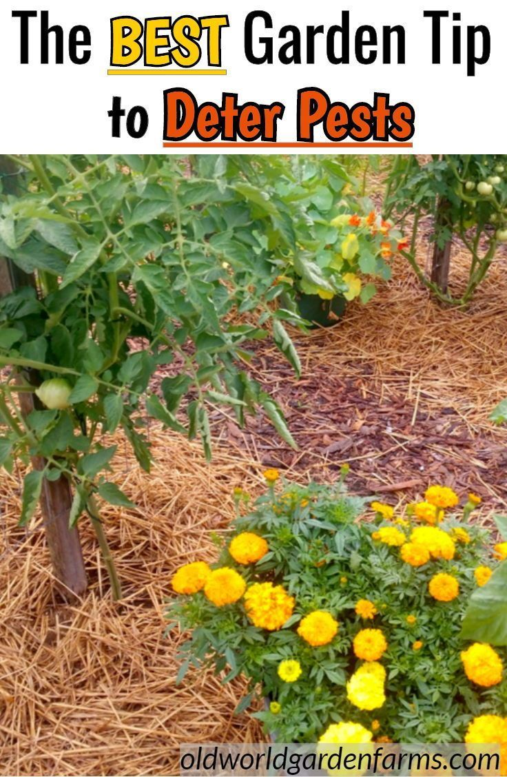 flowers to plant in vegetable garden to deter pests